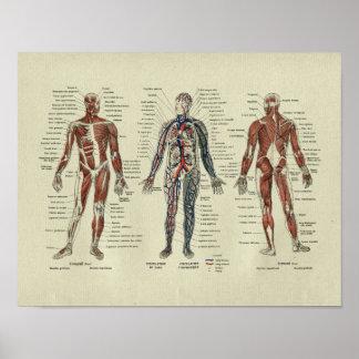 Copie française vintage d'anatomie de muscle posters
