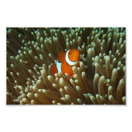 Copie mignonne de photo de Clownfish