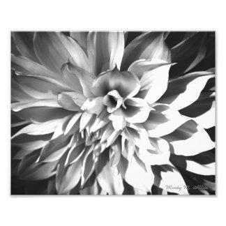 Copie noire et blanche 8 x 10 de chrysanthème photographes