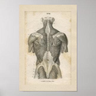 Copie vintage d'anatomie de muscle humain posters