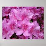 Copies roses d'art des fleurs 11x14 d'azalée d'aza affiches