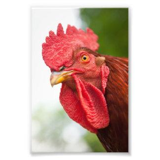 Coq de rouge d'île de Rhode Impression Photo