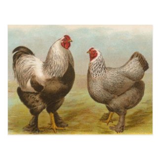Coq vintage de Brahma et carte postale de poule