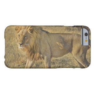 Coque Barely There iPhone 6 Beau mâle de lion marchant sur la savane