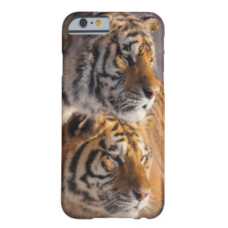 Coque Barely There iPhone 6 Deux tigres sibériens ensemble, la Chine