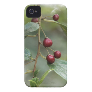 Coque iPhone 4 Fruits d'un nerprun brillant de feuille