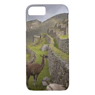 Coque iPhone 7 Le lama se tient sur les terrasses agricoles avec