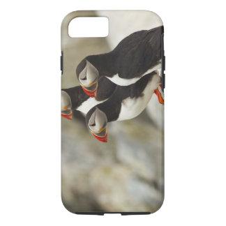 Coque iPhone 7 Les macareux atlantiques sur Machias scellent