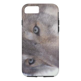 Coque iPhone 7 loup gris, lupus de Canis, dans les collines du