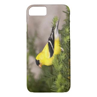 Coque iPhone 7 Mâle américain de chardonneret dans un arbre