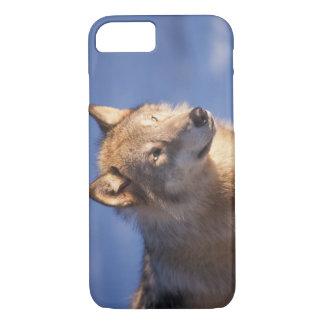 Coque iPhone 8/7 loup gris, lupus de Canis, dans les collines des 2
