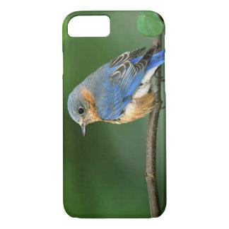 Coque iPhone 8/7 Oiseau bleu oriental femelle, sialis de Sialia