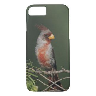 Coque iPhone 8/7 Pyrrhuloxia, sinuatus de Cardinalis, mâle, Starr