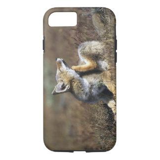 Coque iPhone 8/7 Un jeune Fox gris argentin, (griseus de Dusicyon),