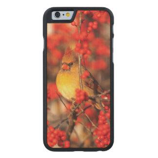 Coque Mince En Érable iPhone 6 Baies femelles et rouges cardinales, IL