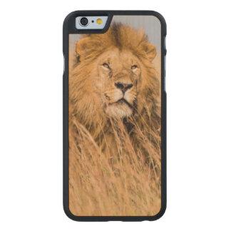 Coque Mince En Érable iPhone 6 Lion masculin caché dans l'herbe