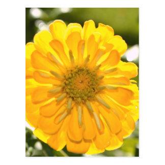 Cosmo jaune cartes postales