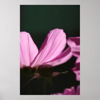 Cosmos rose le Sun - photographie florale - Affiche