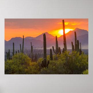 Coucher du soleil de cactus de désert, Arizona Poster