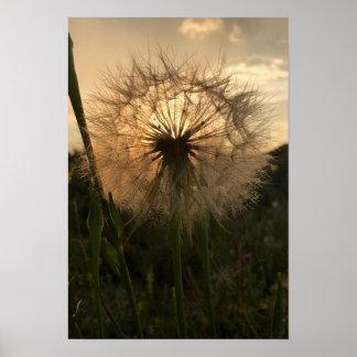 Coucher du soleil de salsifis poster