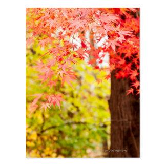 Couleurs lumineuses d'arbre d'érable japonais en carte postale