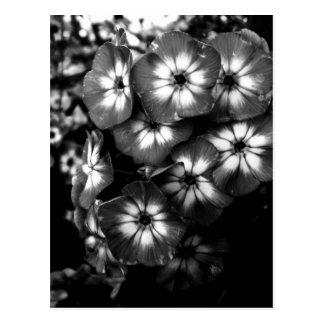 Courson noir et blanc de Phlox de jardin Cartes Postales