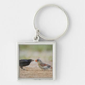 Cowbird de alimentation cardinal du nord de bébé porte-clé carré argenté