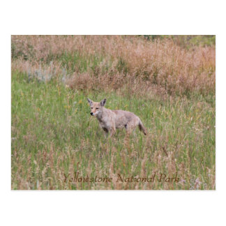 Coyote, parc national de Yellowstone, carte