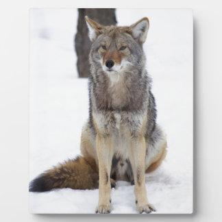 Coyote se reposant dans la neige plaque photo