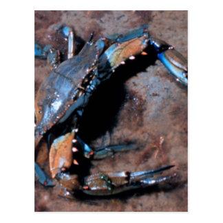 Crabe bleu du Maryland Carte Postale
