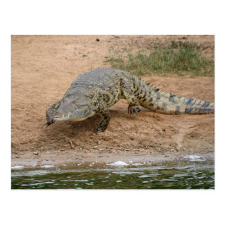 Crocodile Carte Postale