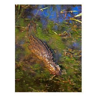 Crocodile dans l'eau carte postale