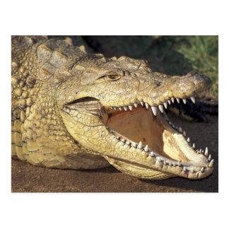 Crocodile de l'Afrique, Afrique du Sud le Nil Carte Postale