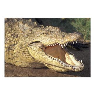 Crocodile de l'Afrique, Afrique du Sud le Nil Photo D'art