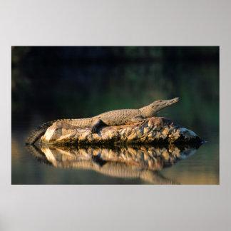 Crocodile du Nil (Crocodylus Niloticus) sur la Posters