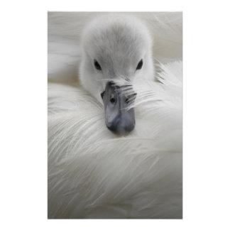 Cygne, belles plumes blanches, confort de beauté prospectus 14 cm x 21,6 cm