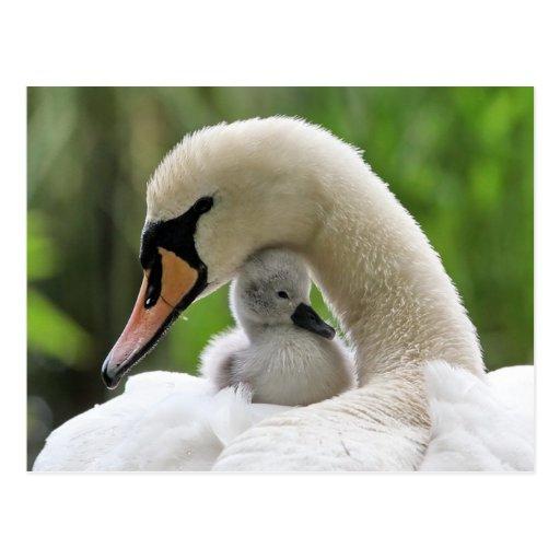 Cygne de mère et de bébé carte postale