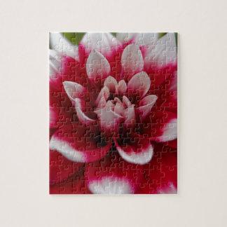 Dahlia rouge et blanc (hortensis de dahlia X) Puzzle