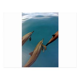 Dauphins nageant dans la lagune tropicale Tahiti