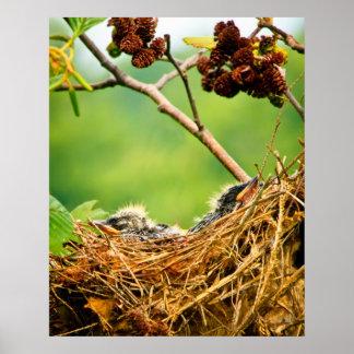 Débutants d'hirondelle d'arbre dormant dans le nid posters