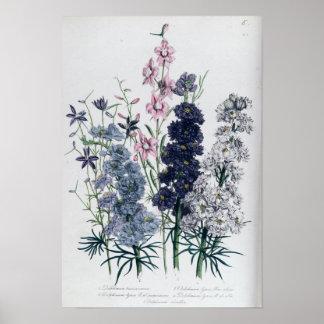 """Delphiniums, """"de fleur Garden des dames"""" Affiche"""