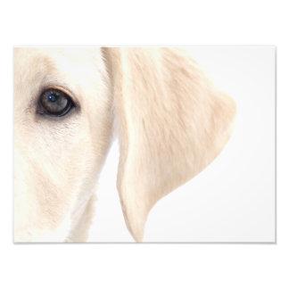 Demi de visage en gros plan de Labrador jaune Photo D'art