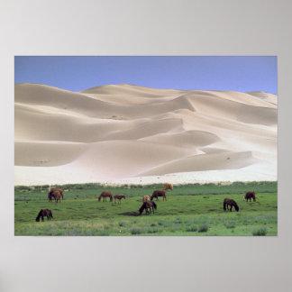 Désert de l'Asie, Mongolie, Gobi. Chevaux sauvages Posters