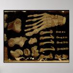 Dessin anatomique des os du pied posters