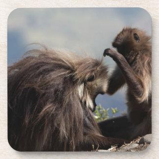 Dessous-de-verre Deux babouins de gelada (gelada de Theropithecus)