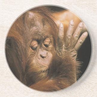 Dessous De Verre En Grès Le Bornéo. Orang-outan captif, ou pongo pygmaeus.