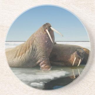 Dessous De Verre En Grès Le groupe de morse se repose sur la glace de mer