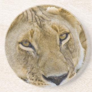 Dessous De Verre En Grès Lion dans la brosse, se reposant dans la chaleur