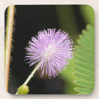 Dessous-de-verre Plante sensible (pudica de mimosa)