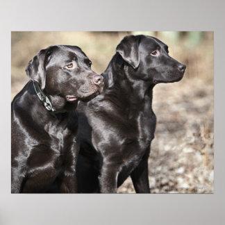 Deux chiens d'arrêt de Labrador noirs Affiche